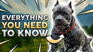 Cane Corso 101! Everything You Must Know About Owning a Cane Corso Puppy
