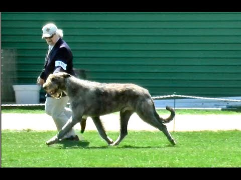 Irish Wolfhound Dog Show Specialty