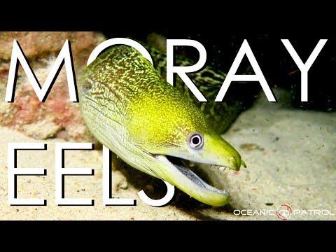 Moray Eels In Hawaii  |  HD Ocean Documentary | Oceanic Patrol