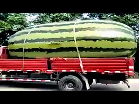 Top Biggest Fruits and Vegetables ever recorded around the world