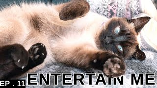 How To Entertain Your Siamese Cat