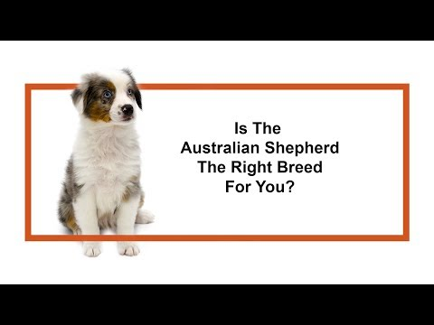 Is the Australian Shepherd the right breed for me?