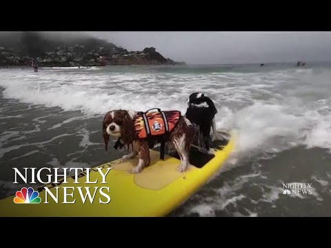 Meet The Dogs Competing To Be Champion Surfers | NBC Nightly News
