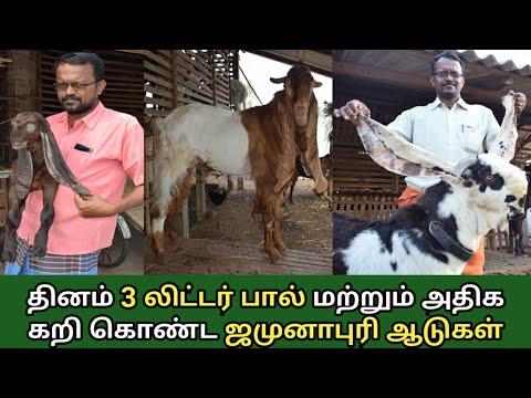 அதிக எடை கொண்ட ஜமுனாபாரி ஆடு வளர்ப்பு | Jamurapuri Goat Farm