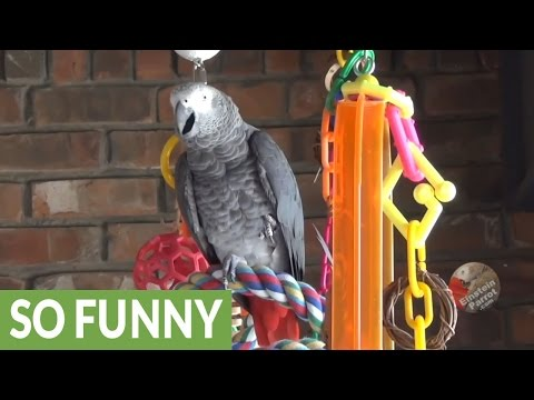 Einstein the Parrot demonstrates use of voice inflection