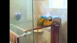 Arara tomando banho de chuveiro
