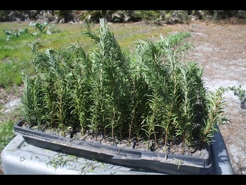 How to grow ROSEMARY from CUTTINGS!