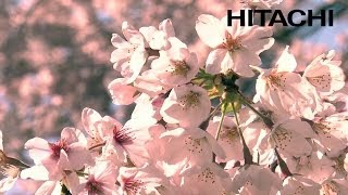 Bunga Sakura Jepang yang Indah dan Kuil Kumano - Hitachi
