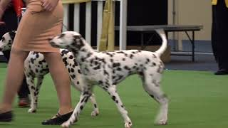 2017 Royal Adelaide Show Dog Arena   Day 4