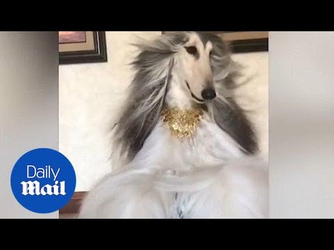 World's most stylish pooch lives glamorous life - Daily Mail