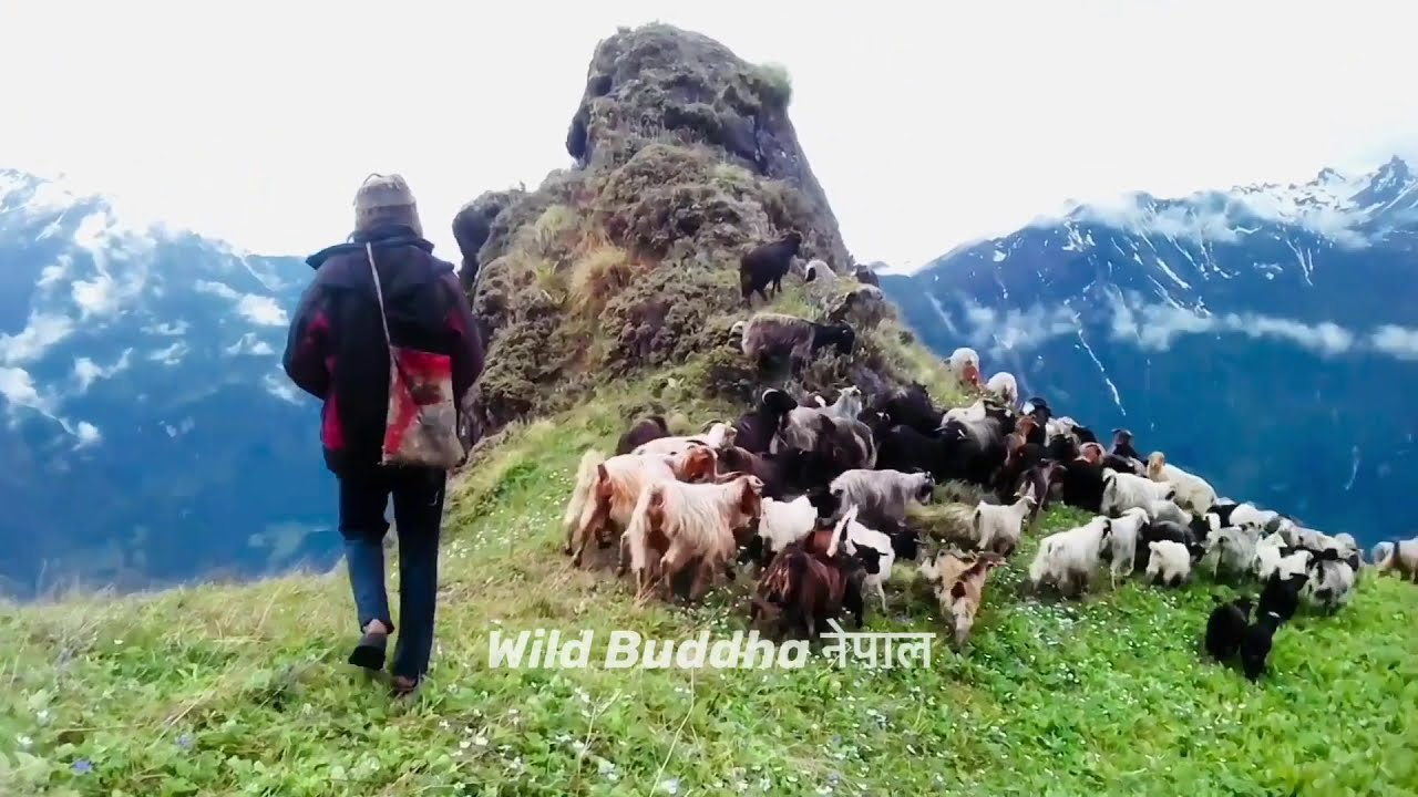 Sheep Herds in the Himalayas || Nepal