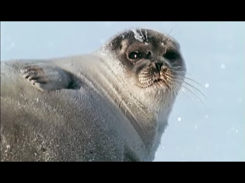 Pregnant Polar Bear Hunts Seals | Animals: The Inside Story | BBC