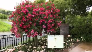 """Cottage Farms 36"""" Peach Rose Patio Tree with Jacque Gonzales"""