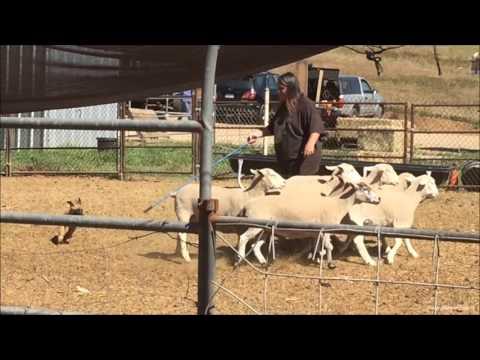 Bita - Malinois Puppy - 1st time herding