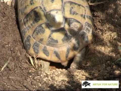 Tartarughe terrestri dopo il risveglio invernale doovi for Deposizione uova tartarughe terrestri