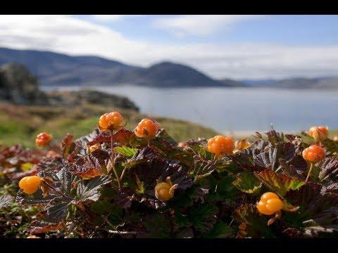 Варенье из морошки / Jam from cloudberry