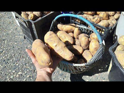 Картофель АМЕРИКАНКА.Сколько картофеля будет с сотки земли. Посадка по Митлайдеру. 600 КГ С СОТКИ.