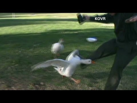 Angry geese attack people with cameras