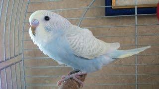 Какие бывают окрасы волнистых попугаев? What are the colors parrots budgies?