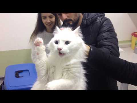 Angry Turkish Van Cat deactivated by vet