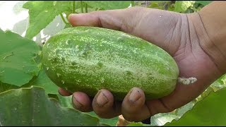 Growing Gourds Part 2 of 5 - Cucumbers
