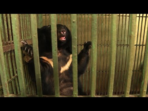 AFP news agency: Two bears in Vietnam head for green pastures