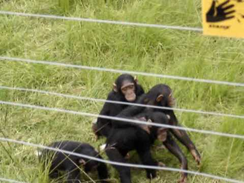 Chimpanzees In Reserve-South Africa