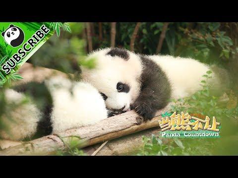 【Panda Countdown】This Week's Favourites:  Ya Yun, Ya Zhu and Cheng Shi! | iPanda