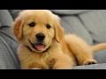 Golden Retriever Puppies Compilation NEW