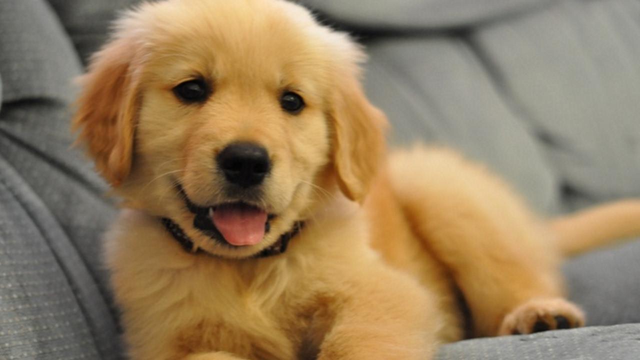 Golden Retriever Puppies Compilation NEW - YouTube