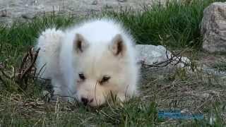 Greenland Dog / Husky - Groenlandse Hond / Husky