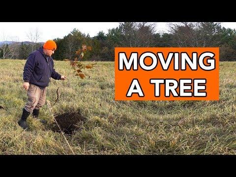 Replanting an Oak Tree