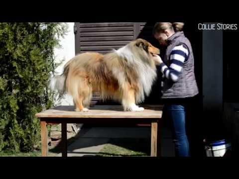 Rough collie tricks - Jessie