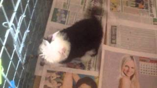 Chinese Crested powder puff female for sale a la venta