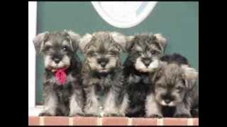 Miniature Schnauzer Puppies For Sale 2013. Richmond/hanover Virginia