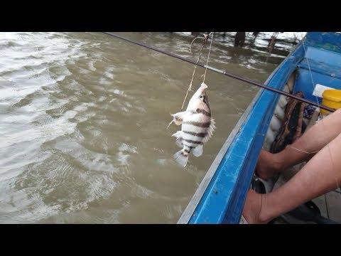 Ra sông Cái săn cá ngàn đô, 3Rùa chào thua loài cá này. Chuyến đi săn lầy lội | Săn bắt SÓC TRĂNG |
