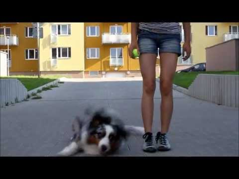 Dog tricks by australian shepherd Charlie