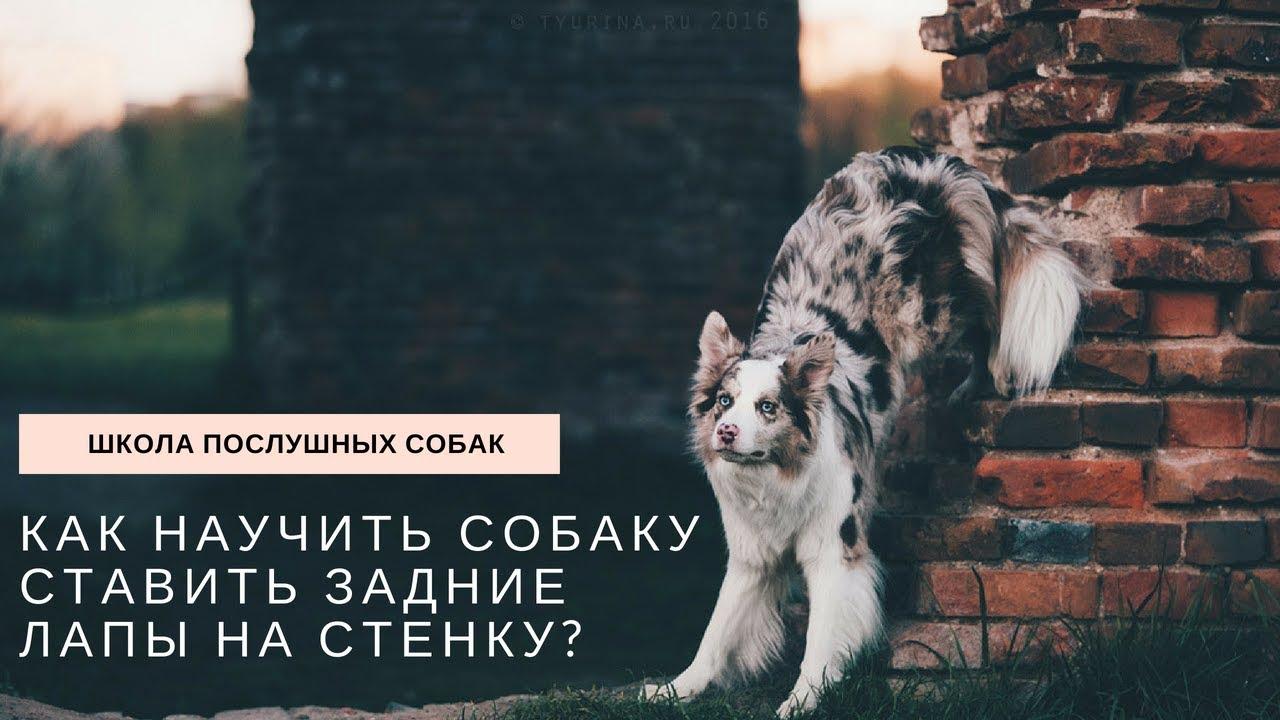 Как научить собаку ставить задние лапы на стенку?
