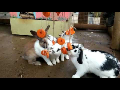 Rabbits enjoying their environmental enrichment objects created by our TAFE students - YouTube