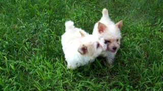 Images & Video  Golddust Yorkshire Terrier  Puppies
