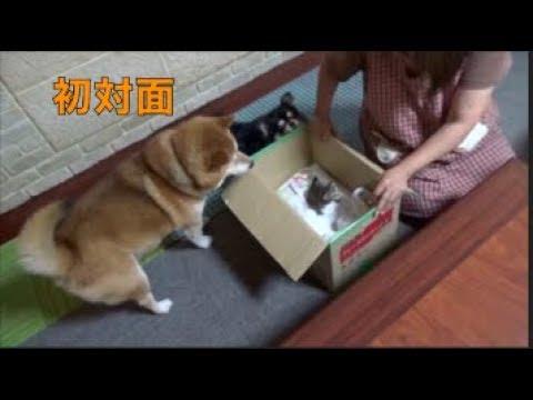 [子猫] [保護猫] 子猫と柴犬の出会い [柴犬][可愛い][癒し]
