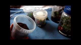 How to raise Avicularia spp. slings ?