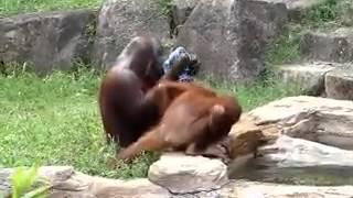 Удивительный орангутан