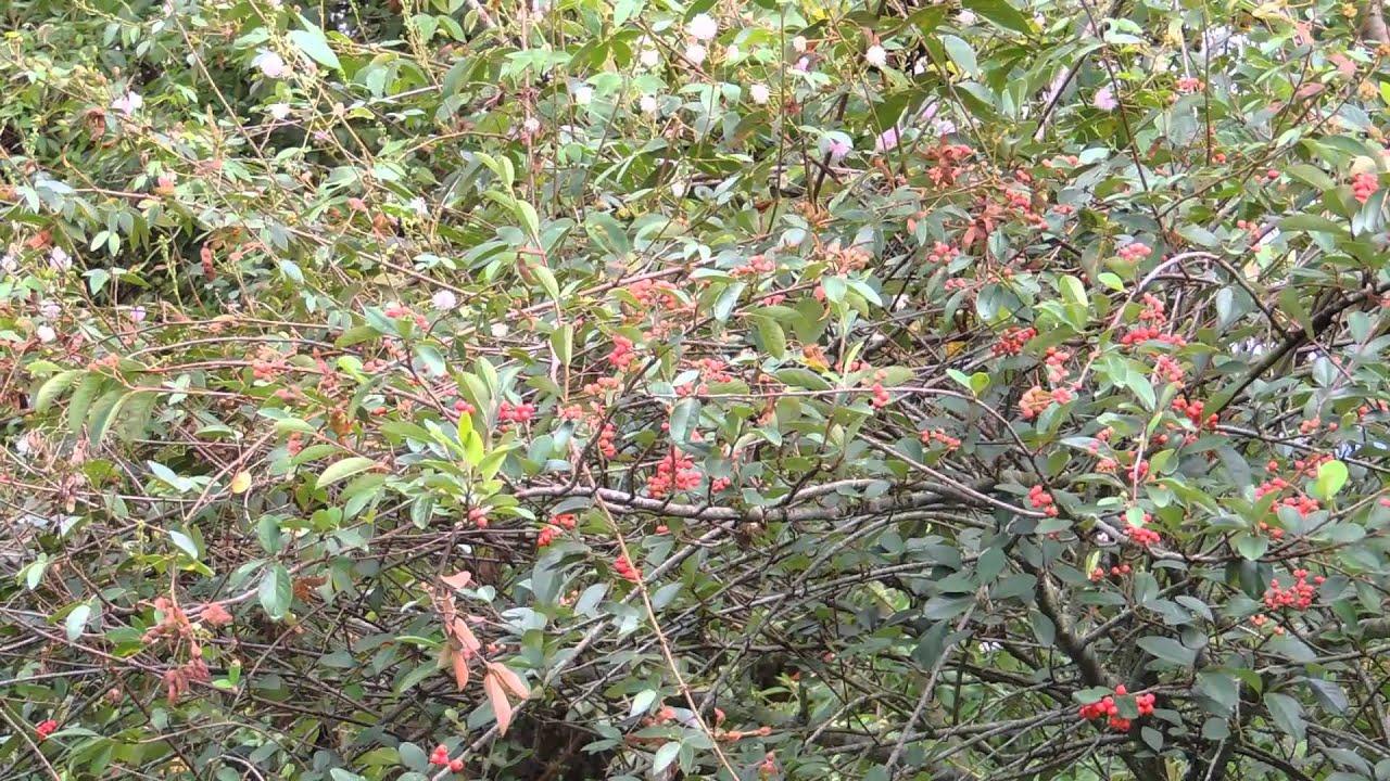 7026 arbol de peque os frutos rojos raw paisajes