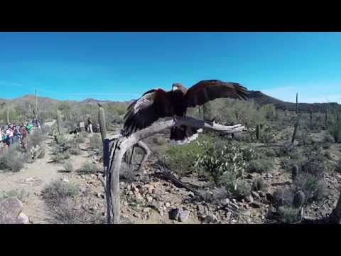Harris's Hawks Soar at the Arizona-Sonora Desert Museum