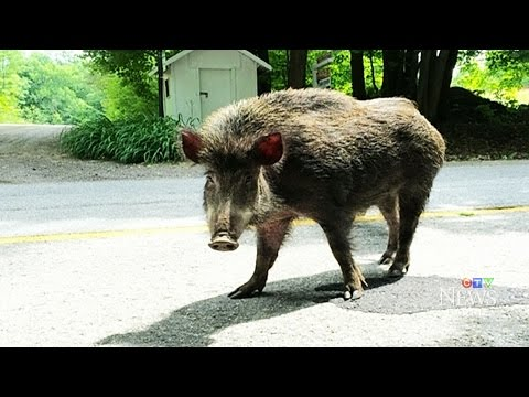 Wild Boars On The Loose Become A Growing Concern
