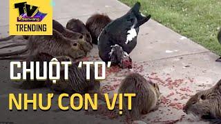 Kinh ngạc đàn chuột khổng lồ bất ngờ xâm chiếm công viên Mỹ