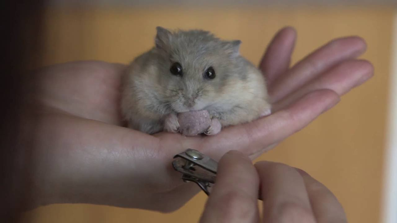 Quick Tip : How to trim your hamster's nails