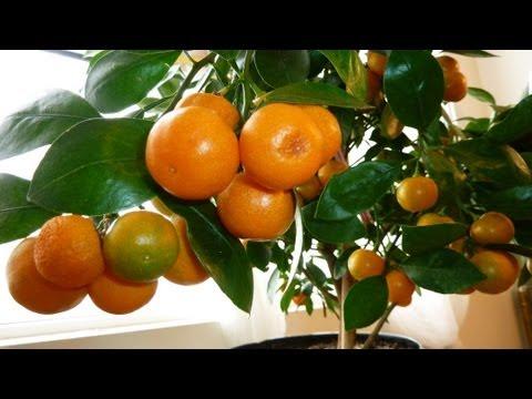 CALAMONDIN ORANGE Update : Best Indoor Citrus Plant | Miniature Orange - Part 2