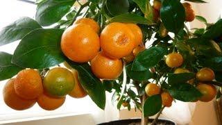 CALAMONDIN ORANGE Update : Best Indoor Citrus Plant   Miniature Orange - Part 2